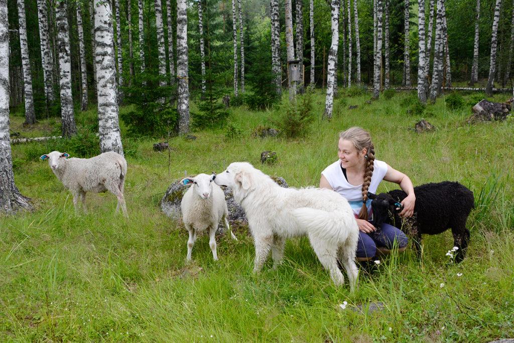 Kristiina Nyholmin lampaat laiduntavat perinneympäristöjä neljän eri kunnan alueella. Pässipojat hoitavat kotitilan hakamaita ja niittyjä.