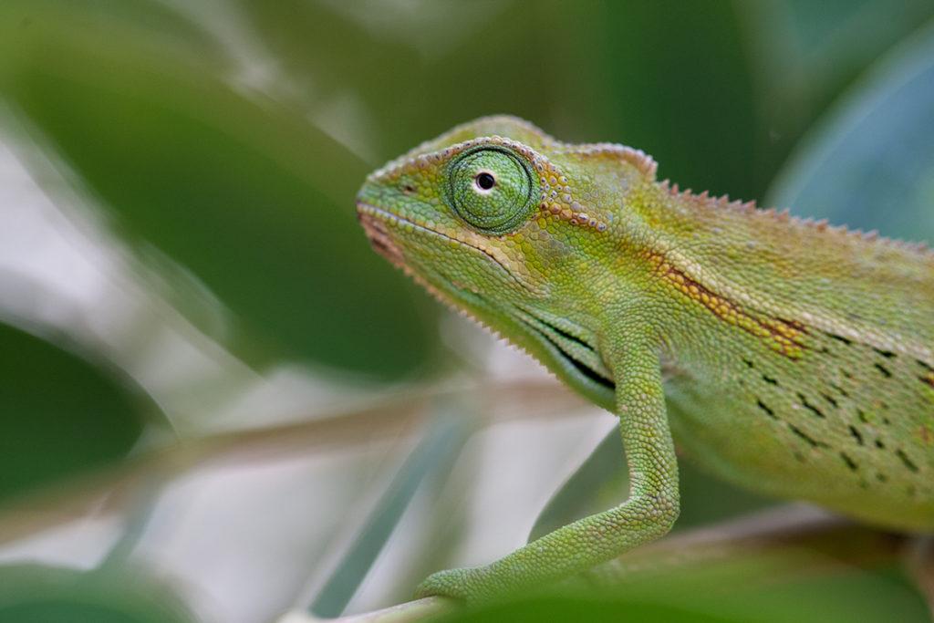 Kameleonteista noin 55 % luokitellaan vähintään silmälläpidettäviksi. Ugandassa kuvaamani Trioceros ellioti -kameleontilla ei ole toistaiseksi hätää.
