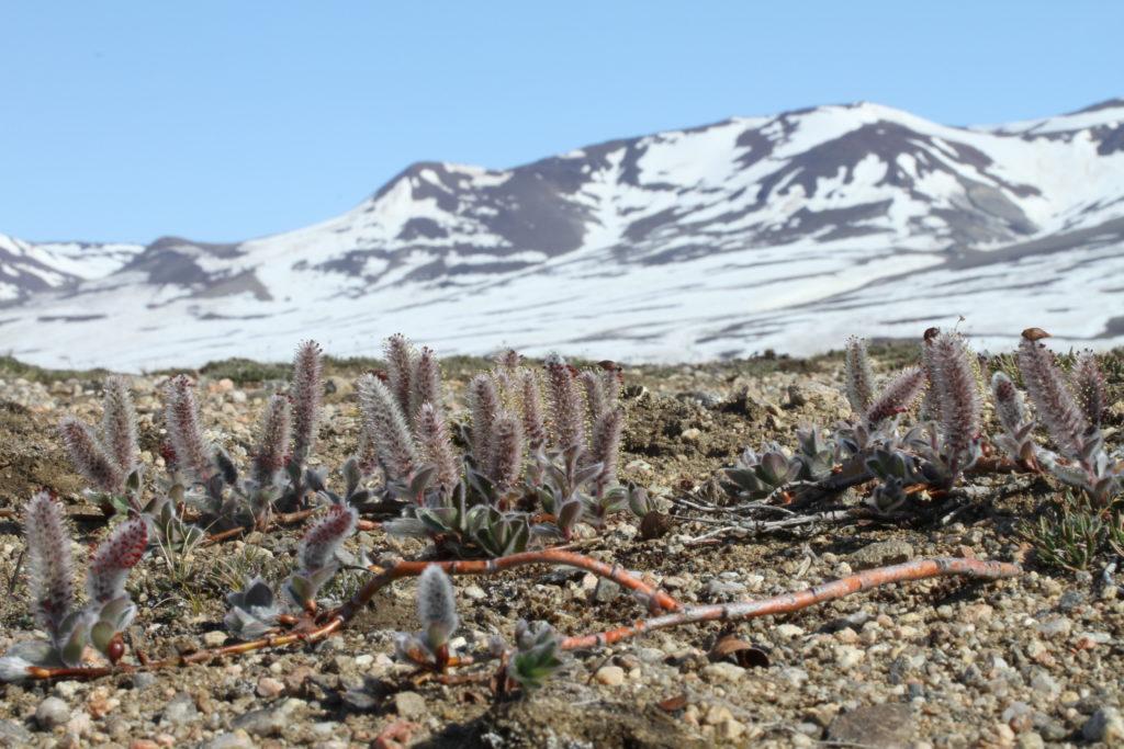 Kaksikotisella tundrapajulla, kuten kaikilla muillakin pajuilla, siitepöly siirtyy hedekasveilta (kuvassa) emikasveille ainoastaan hyönteisten vierailujen seurauksena.