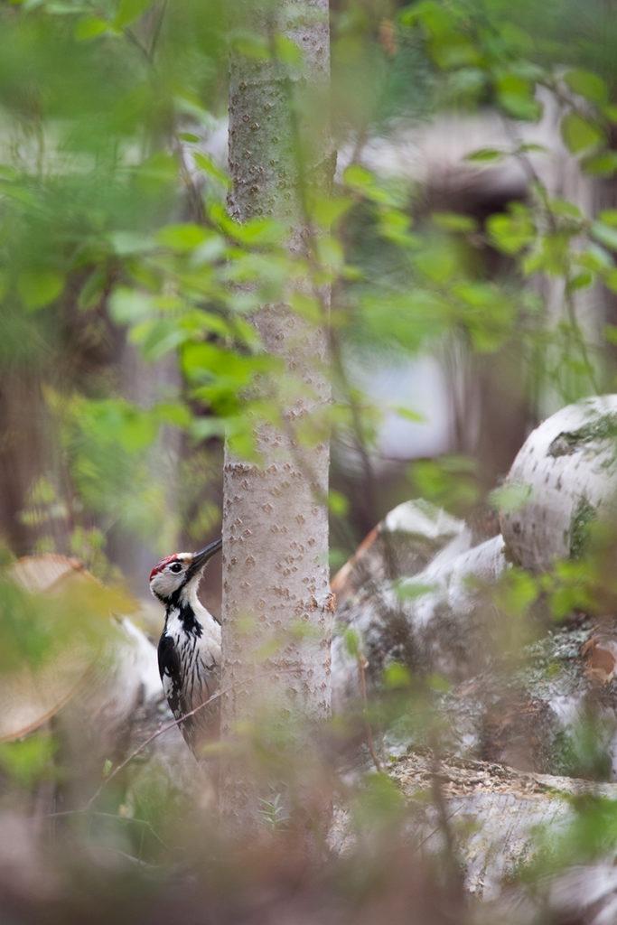 Lähetin muutama vuosi sitten kotikaupungilleni palautetta, kun lähimetsästä kaadettiin puita keskellä toukokuuta. Kyseinen monimuotoinen pikkumetsikkö on muun muassa valkoselkätikan suosiossa ja nokkavarpuset ilmaantuvat sinne samoihin aikoihin joka kevät. Raivauksen jälkeen metsikkö hiljeni, vaikka normaalisti siellä kävellessä olisi saanut räkättirastailta äänekkään valituksen siivittämät löysät terveiset niskaansa. Kaupungille kuitenkin kiitos siitä, että suuri osa raivatuista puista jätettiin metsään lahoamaan.