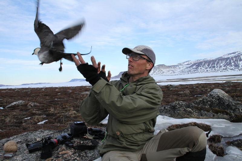 Tanskalainen tutkija Lars Holst Hansen vapauttaa geopaikantimella varustetun tunturikihun heinäkuussa 2012. Paikannin on linnun oikeassa jalassa oleva pieni rasia. Sijaintitietojen saamiseksi lintu on pyydettävä uudestaan.