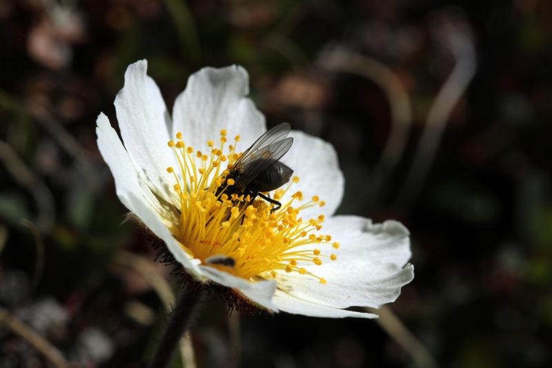 Sukaskärpäset vierailevat usein lapinvuokon kukilla ja ovat sen tärkeimpiä pölyttäjiä.