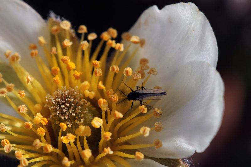 Surviaissääsket viihtyvät lapinvuokon kukissa, mutta ovat pienen kokonsa takia melko heikkoja pölyttäjiä.