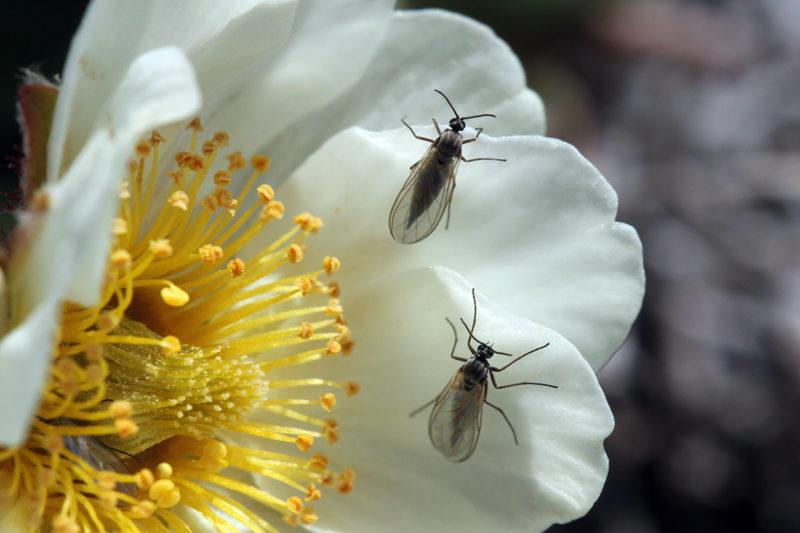 Sienisääskiä lapinvuokon terälehdellä. Kukan keskustassa on emi, jolla olevat pienet hiukkasen ovat siitepölyä.