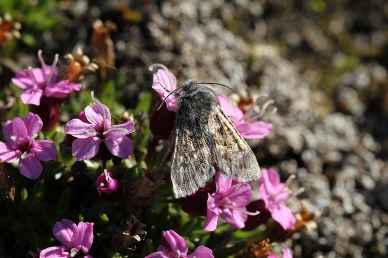 Perhoset vaikuttavat suuresta koostaan ja karvaisuudestaan huolimatta olevan pölytyksessä melko heikkoja. Kuvassa Euxoa adumbrata -yökkönen.