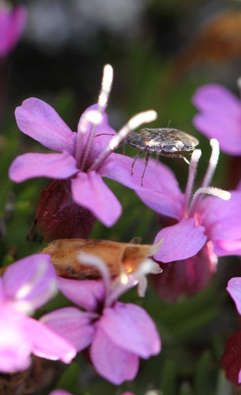 Harvinaisimpiin kukkavierailijoihin kuuluu Nysius groenlandicus-lude, joka on ainut ludelaji Zackenbergissa.