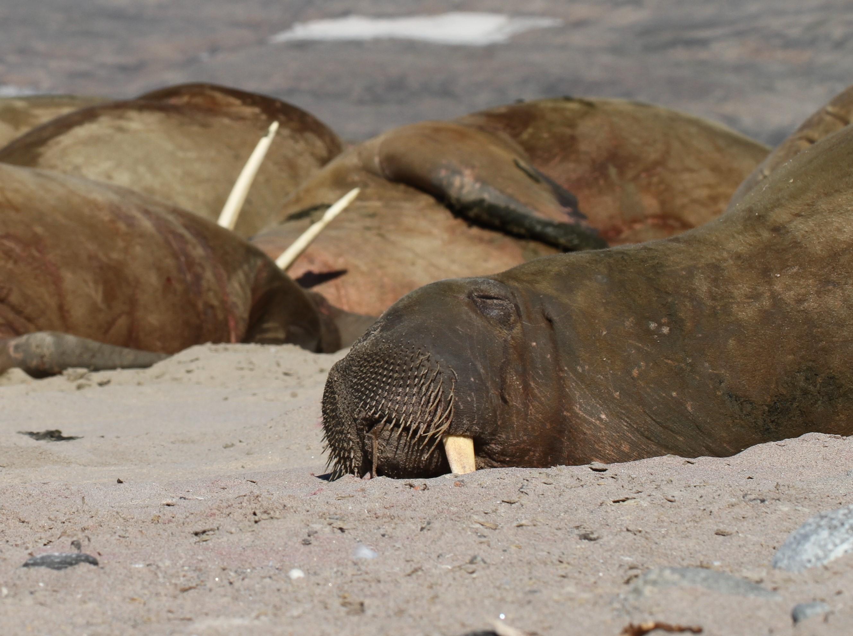 Heinäkuun lopussa pääsin käymään Sandön saarella. Mursut näyttivät meille esimerkkiä rentoutumisessa.