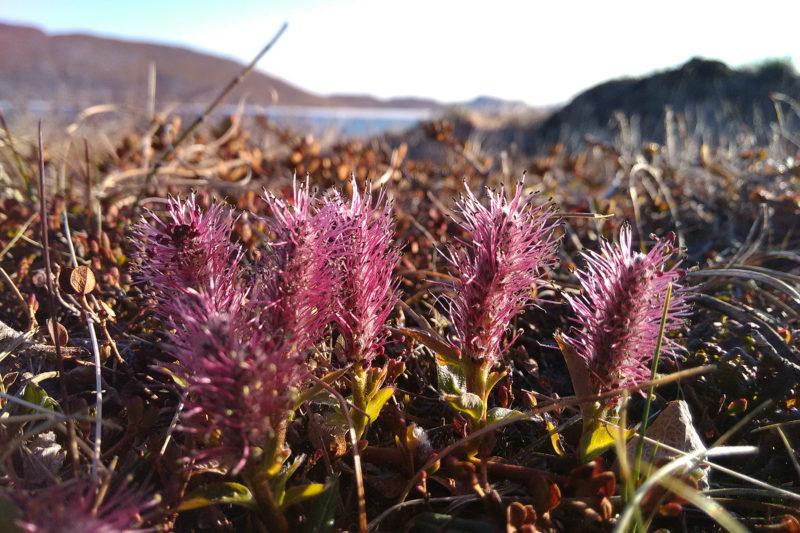 Salix arctophila kukkii aikaisin keväällä. Se on yksi Grönlannin seitsemästä pajulajista.