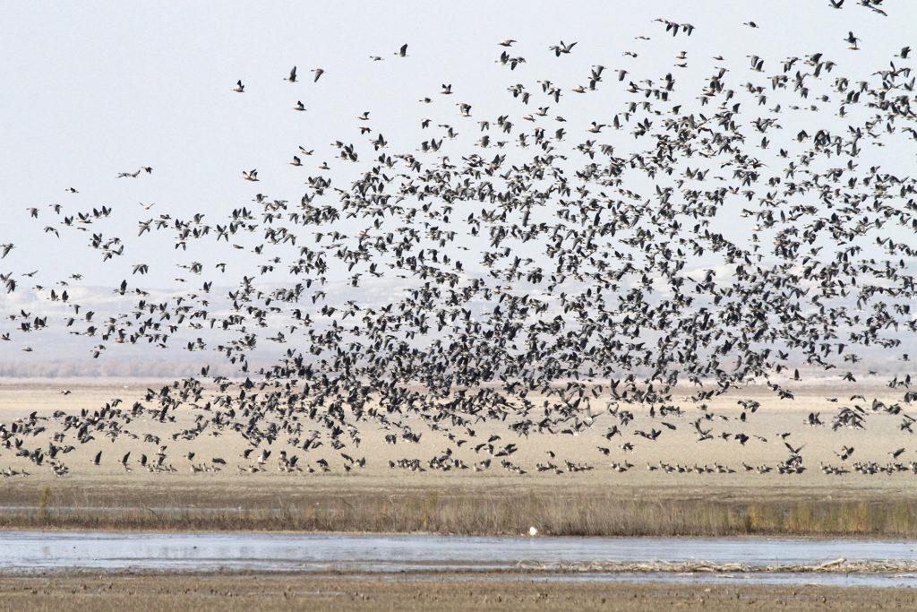 Pohjolan kiljuhanhet ovat äärimmäisen uhanalaisia, mutta Länsi-Venäjän pesimäkanta on vahvempi. Aras-tekojärveltä Iranin ja Azebaidzanin rajalta löytyi huikea 4750 linnun kiljuhanhiparvi.