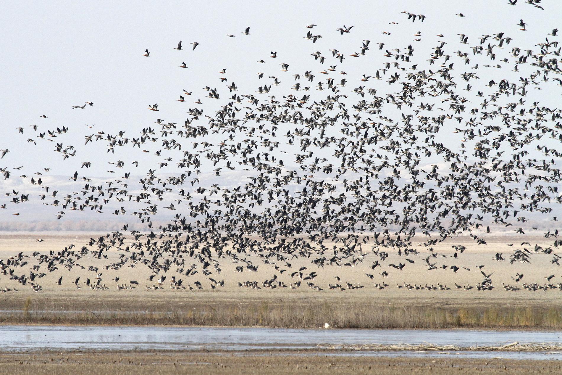 Pohjolan kiljuhanhet ovat äärimmäisen uhanalaisia, mutta Länsi-Venäjän pesimäkanta on vahvempi. Aras-tekojärveltä Iranin ja Azebaidzanin rajalta löytyi huikea 4750 linnun kiljuhanhiparvi. kuva: Petri Lampila