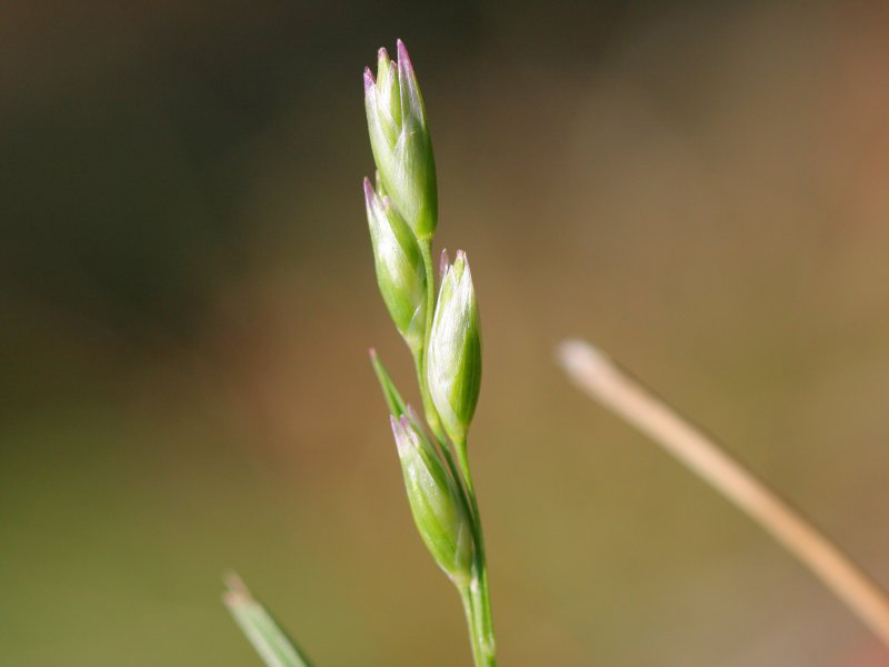 Danthonia decumbens